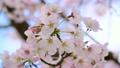桜 21138738