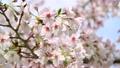 桜 21138739