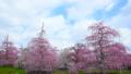 스즈카의 숲 정원의 수양 매화 21217343