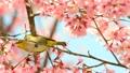 桜とメジロ 21318717