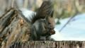エゾリス リス 動物の動画 21396665