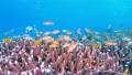 セブ・バリカサグの水中景観 21432112