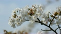 Spring weather and cherry blossoms in full bloom 21555644