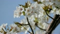 Spring weather and cherry blossoms in full bloom 21555647
