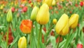 Beautiful yellow tulip flower moving in the wind 21588595