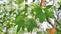 The branch of green maple leaves moving in wind 21633082