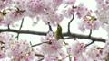 樱花开花蜂蜜Meiro 21705059
