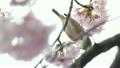 樱花开花蜂蜜Meiro 21705060