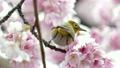 樱花开花蜂蜜Meiro 21705061