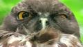 リュウキュウアオバズク Ryukyu brown hawk-owlJapan owl 21729941