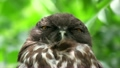 リュウキュウアオバズク Ryukyu brown hawk-owlJapan owl 21729942