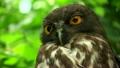 リュウキュウアオバズク Ryukyu brown hawk-owl 21739999