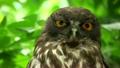 リュウキュウアオバズク Ryukyu brown hawk-owl 21740000