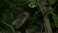 リュウキュウコノハズク Ryukyu scops owl 21745488