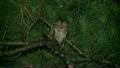 リュウキュウコノハズク Ryukyu scops owl 21745490