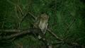 リュウキュウコノハズク Ryukyu scops owl 21745491