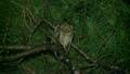 リュウキュウコノハズク Ryukyu scops owl 21745492