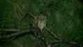 リュウキュウコノハズク Ryukyu scops owl 21745493