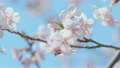 Kawazu Cherry blossoms and Honeybee,Tokyo,Japan 21776005