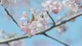 Kawazu Cherry blossoms and Honeybee,Tokyo,Japan 21776006