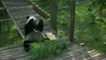 ぱんだ パンダ 動物の動画 21781461