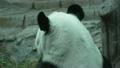 ぱんだ パンダ 動物の動画 21781492