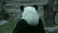 ぱんだ パンダ 動物の動画 21781493