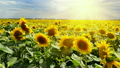 Bright sun over the sunflower field 21837115