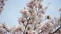 桜 21843579
