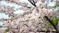 桜 21843580