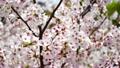 桜 ゆれる花びら 21843581