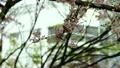 桜とスズメ 21843582