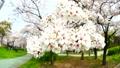 桜 魚眼レンズ 21843583