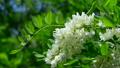 White flowers of acacia 21863836