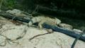 Iguana in Aruba 21977111