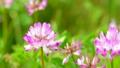 花 植物 レンゲソウの動画 22181230