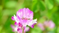 花 植物 レンゲソウの動画 22181231