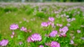 花 植物 レンゲソウの動画 22181232