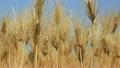 大麦の穂 22345739