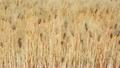 大麦の穂 22345740