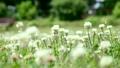 シロツメクサ 野草 植物の動画 22353810