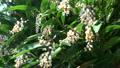 風にゆれる月桃の花 22369141