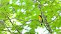 新緑の森で囀るキビタキ雄 22383266
