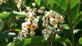 風にゆれる月桃の花 22405989