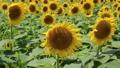 ヒマワリ ひまわり 向日葵の動画 22607070