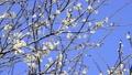 cherry blossom, cherry tree, bloom 22696133