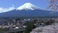 新倉山浅間公園の桜と富士山-090818 22742967
