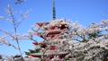 新倉山浅間公園の桜と忠霊塔-6142702 22743246