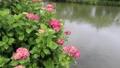 ぐるっと松江堀川めぐり 紫陽花の咲く頃 22799992