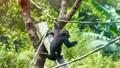 Single Chimpanzee Hangs from a Vine at the Zoo 22812344